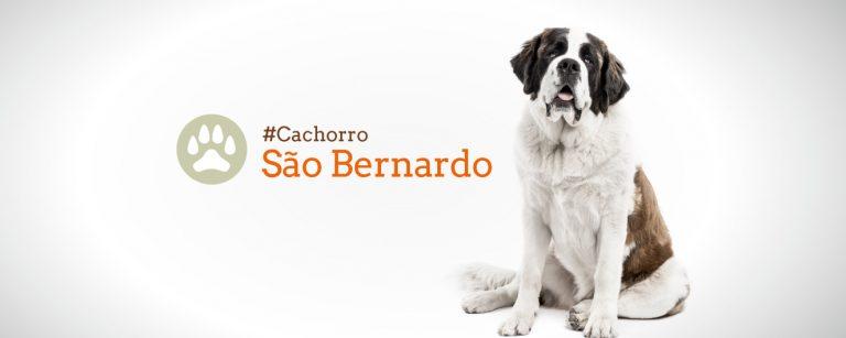 Guia de Raças: São Bernardo